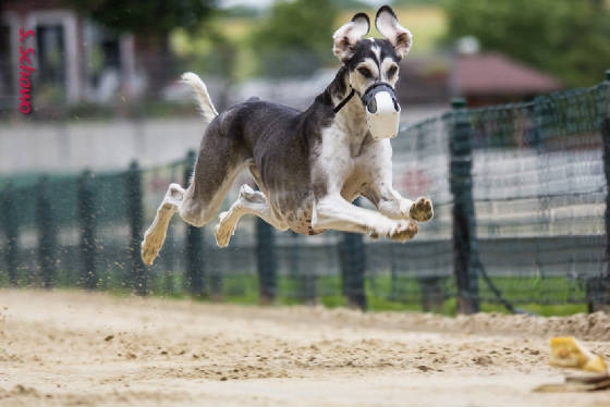 olivertheflyingsaluki.jpg